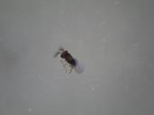 Ενήλικο άτομο Trichogramma sp.