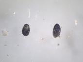 Παρασιτισμένα αυγά Ephestia kuehniella από Trichogramma sp.